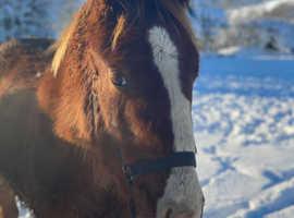 Irish sports horse filly to make 17h future eventer sj xc