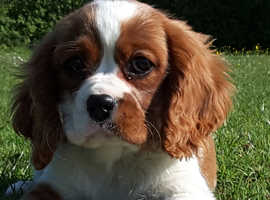 Cavalier king Charles Puppies Boys