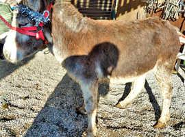 Pretty jenny donkey