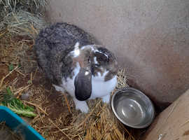 Lovely and big French lop doe