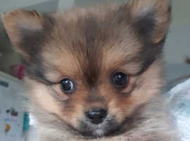 Long and short haired pomchi pups. Ready now.
