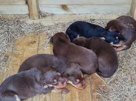 6 Kelpie puppies 3 weeks old