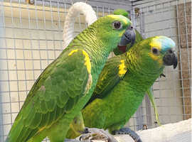 Blue Fronted Amazon Talking Parrot