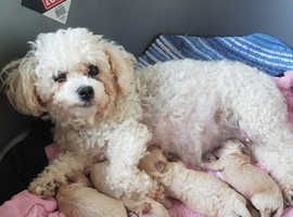 Beautiful  Poochon Puppies for sale