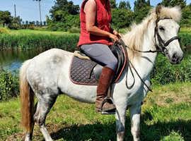 Registered Eriskay project pony