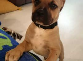 Quality beautiful male bullmastiff pup