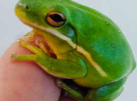 Frogs available