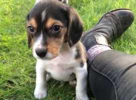 Tri- Coloured Beagle dog