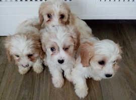 3 Cavachon puppies