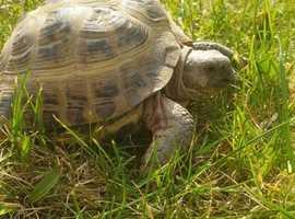 Horsefield tortoise  and setup