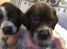 *** Beautiful GWP Puppies ***