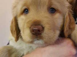 Springador pups (3/4 Labrador)