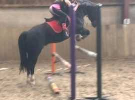 13.2hh Welsh Section C 2nd pony Gelding