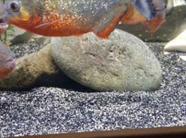 19 X red belly piranha