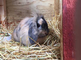 2 male bunnies for sale