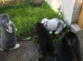 Handsome French Lop rabbits now available vaccinated!