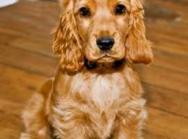 Looking for a cocker spaniel please