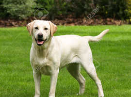 Wanted yellow female lab