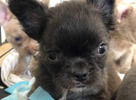 Frenchie x Chihuahua
