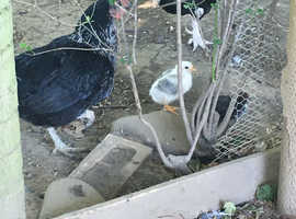 Bantams male and female need good home