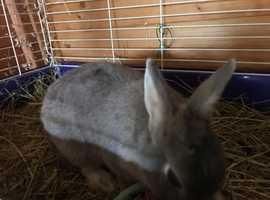 Female dwarf rabbit