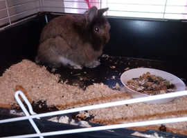 Lion head mini lop with cage