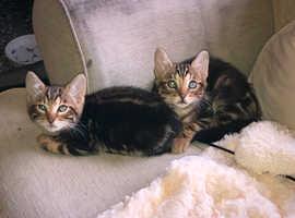 F4 Bengal kittens