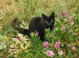 Missing black cat - Woodley, Romsey, UK