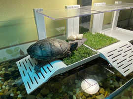 Musk turtle and set up
