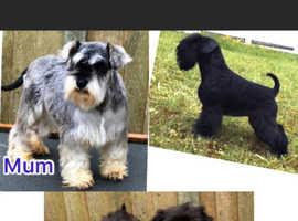 Kc reg bva clear miniature schnauzer puppies for sale