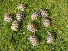 Hermann's tortoises.