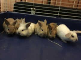 Small mini lop size baby bunny rabbits