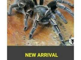 Striped Knee Tarantula sub adult