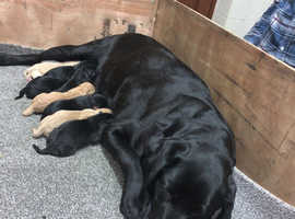Labrador Retriever Puppies Ready To Go Now