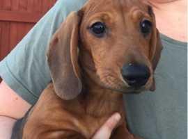 KC reg smooth haired miniature dachshund puppies