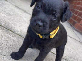 Gorgeous Patterdale Terriers, 2 girls left