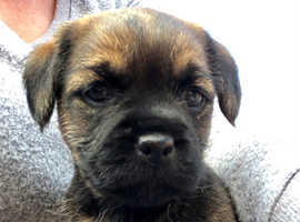 ****3 Red Grizzle SLEM CLEAR Border Terriers.. Champion Sired***