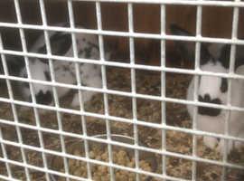 2 Baby English Spot Rabbits