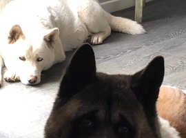 Japanese Akita puppys