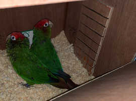 PROVEN BREEDING PAIR OF ROSE CROWNED CONURE