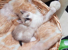 Excellent ColourPoint Ragdoll x Kittens