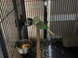 Alexandrine female parrot for sale!