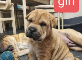Traditional Chinese Shar-pei female pup