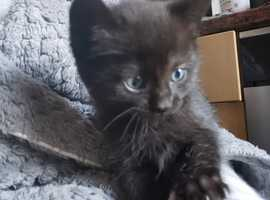 Black kittens with blue eyes