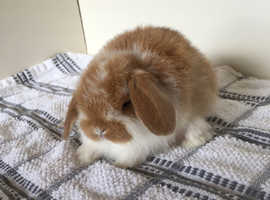 Stunning baby mini lop bunnies available