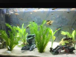Tropical fish and aquarium tank