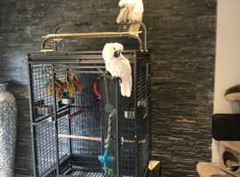 Pair of cockatoos