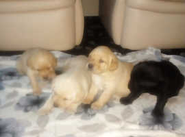 Labrador puppies ALL NOW RESERVED