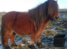 miniature shetland mare SOLD SOLD SOLD