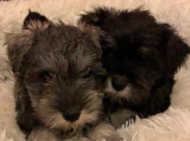 schnauzer mini puppies